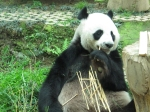 Lin Ping and the mom are sleeping. Here's the dad, devouring bamboo and all.